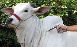 Vacinação contra aftosa é prorrogada até 10 de dezembro